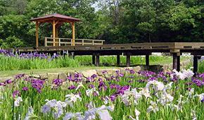 みよし公園菖蒲園