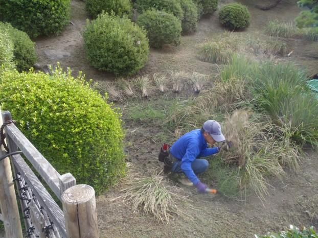 稲刈り状況